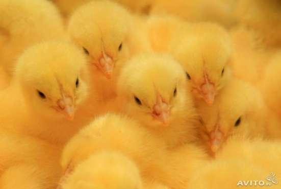 Инкубационное яйцо бройлера Кобб-500 /Росс-308,цыплята