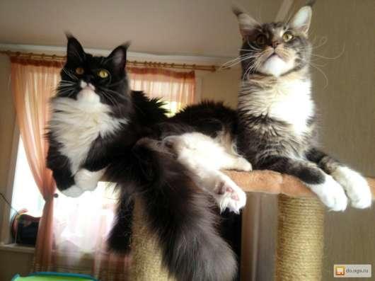 Котята Мейн куны Совершенство! в Новосибирске Фото 1