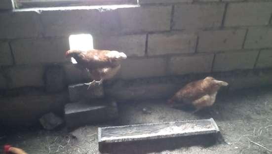 Яйца домашние куриные диетические в Туле Фото 2