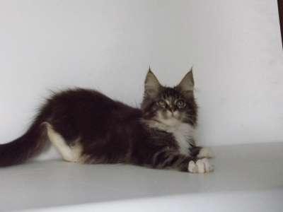 Котята мейн-кун в г. Псков Фото 2