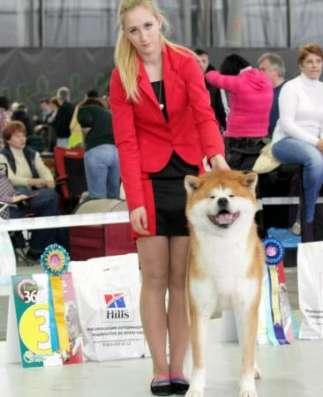 Шоу класса щенки японской акиты-ину в Москве Фото 3