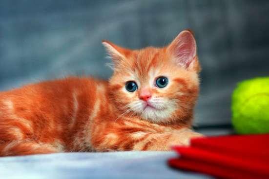Шотландский прямоухий котик Редкого окраса красный мрамор