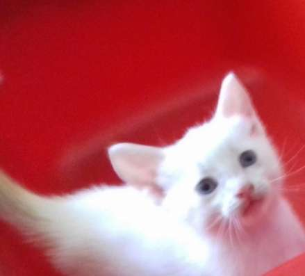 Тайский котенок редкого окраса РЕД-ПОИНТ в Волгограде Фото 3