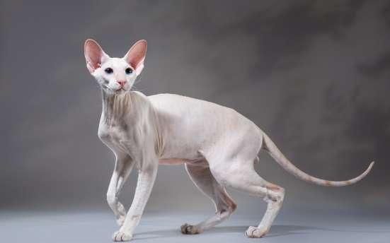 Продается котик петербурского сфинкса