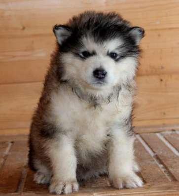 Аляскинского маламута щенков