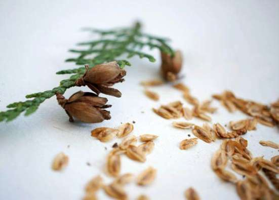 Семена Туи Западной, для посадки в грунт
