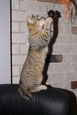 Пикси боб - кошка Рысь