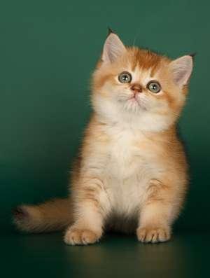 Продажа шотландских котят драгоценных окрасов