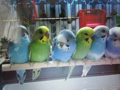 попугаи в Обнинске Фото 1