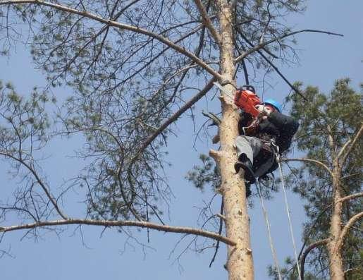лка (вырубка) деревьев. Обрезка веток. Корчевание пней в Новосибирске Фото 4