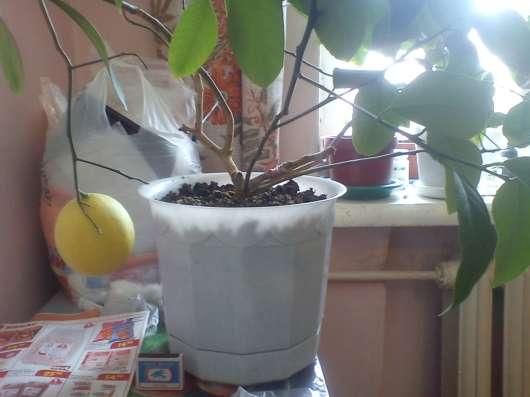 Лимон плодоносящий в Екатеринбурге Фото 2