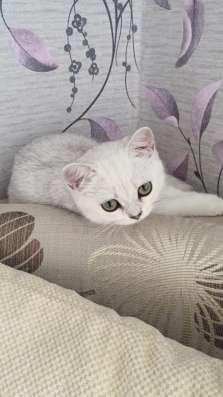 Британский клубный котенок девочка Скалли в Москве Фото 2