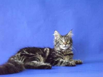 Котята мейн-кун в Таганроге Фото 4
