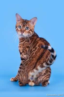 Бенгальский кот, кошка в разведение, для души