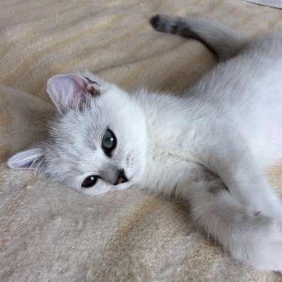 Британский клубный котенок мальчик Цедрик