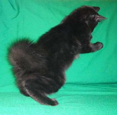 Котята с отличной родословной в Иркутске Фото 1