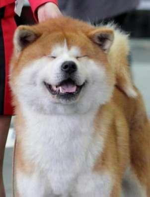 Шоу класса щенки японской акиты-ину