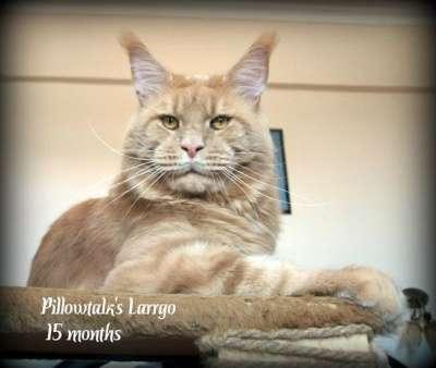 Мейн кун котята от большого международно в Волгограде Фото 1