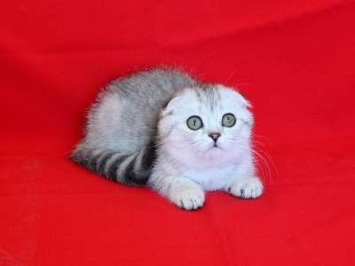 Шотландские вислоухие котята ArtsFamily в Ростове-на-Дону Фото 3