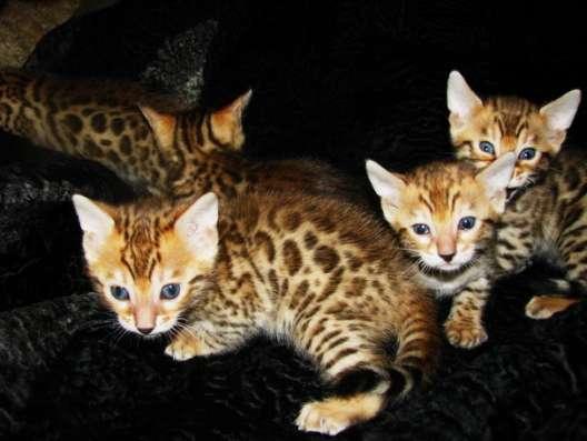Бенгальские котята Питомник бенгальских кошек sunnybunny