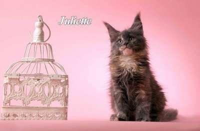 Мейн кун котята от большого международно
