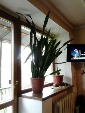 Сансевиерия (Щучий хвост) в Кемерове Фото 2