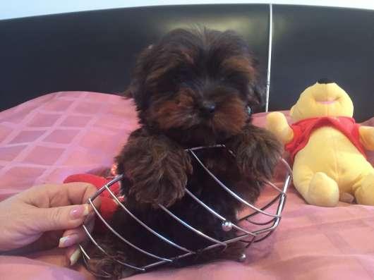 Шоколадный йоркширский терьер щенок