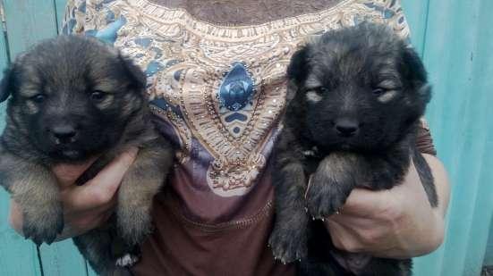 Продам щенков кавказкой овчарки в Волгодонске Фото 1