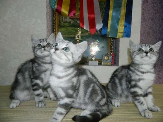 Шикарные британские котята в Ульяновске Фото 4