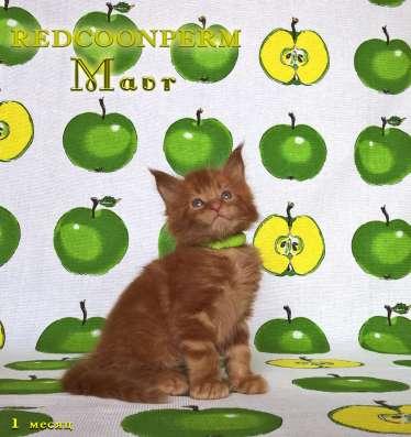 Котенок мейн кун красный солид. Шоу класс в Перми Фото 1