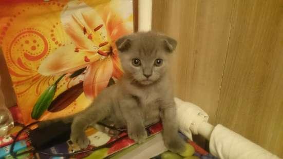 Вислоухий британский котик ищет хозяина в Санкт-Петербурге Фото 2