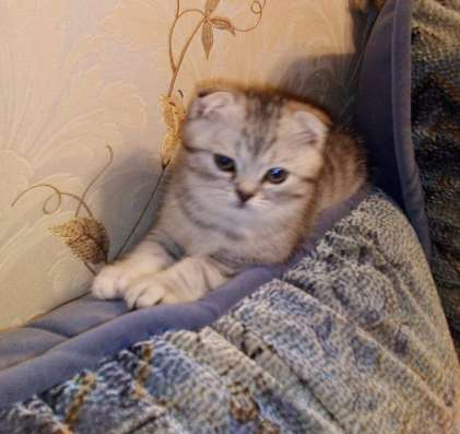 Клубный шотландский котенок в Одинцово Фото 5