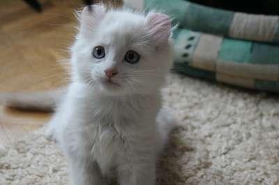 Котята Американский кёрл! в Смоленске Фото 1