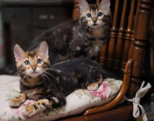 Бенгальские кашемировые котята в Челябинске Фото 1