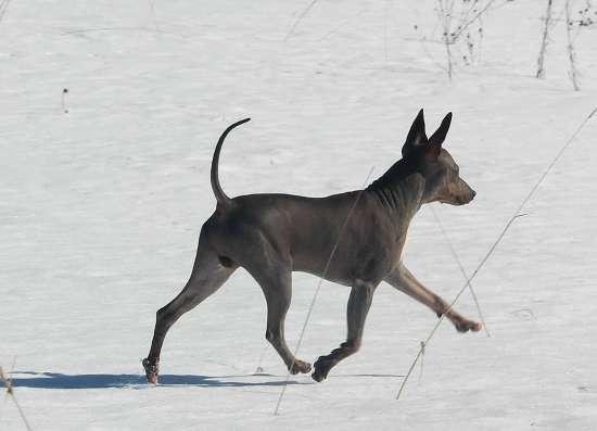 Предлагаются щенки породы Американского Голого Терьера!