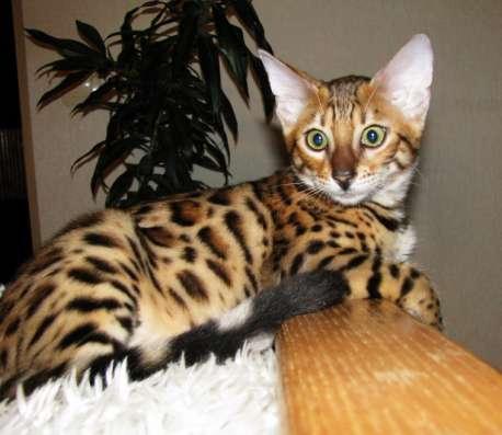 Бенгальские котята Питомник бенгальских кошек sunnybunny в г. Кобрин Фото 3