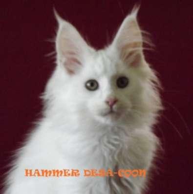 Мейн-кун котята в Геленджике Фото 3