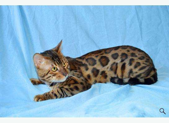Элитные бенгальские котята в Уфе Фото 5